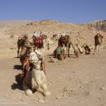 The Lovely Camels at Petra Site